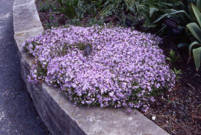 Moss Phlox; cultivar 'Emerald Blue' in full flower