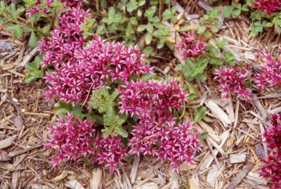 Two-row Sedum; cultivar 'Dragon's Blood'