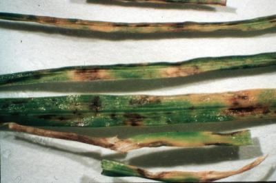 Gray leaf spot lesions.