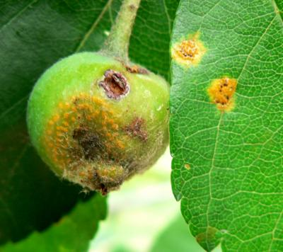 Hawthorn rust on crabapple leaf and fruit