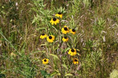 Purple-headed Sneezeweed