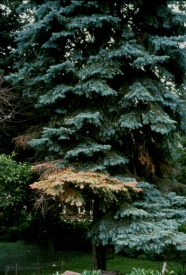 """Bottom up"": The most common way spruces die due to cytospora canker."