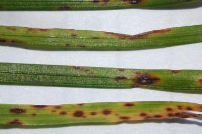 """Helminthosporium"" leaf spots."