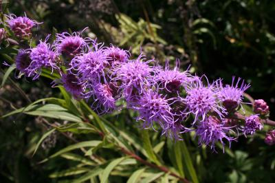 Flowers of Rough Blazing Star