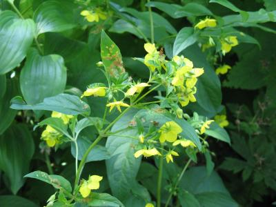 Flowers of Fringed Loosestrife