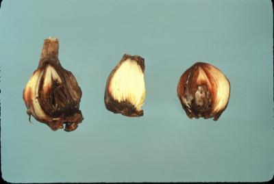 Fusarium bulb rot of narcissus.