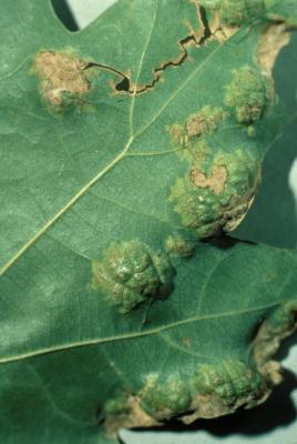 Oak leaf blister symptoms.