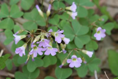 Flowers of Violet Wood Sorrel
