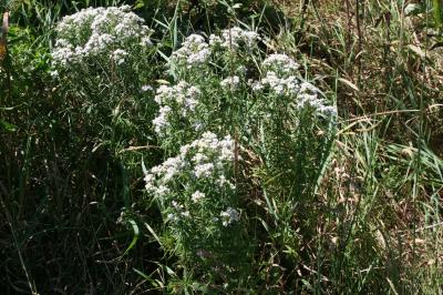 Narrowleaf Mountain Mint