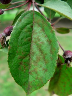 Apple scab on crabapple leaf.