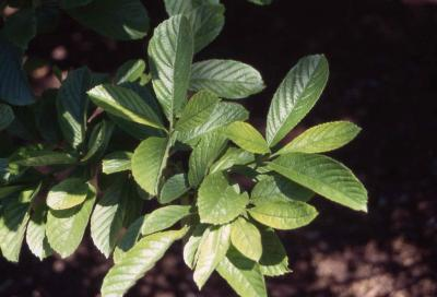 Leaves of Siebold Viburnum