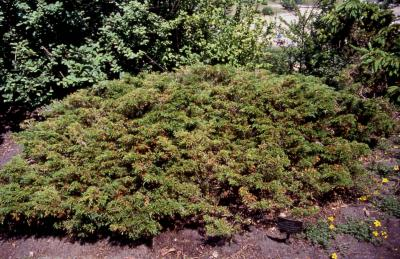 Savin Juniper; the cultivar 'Calgary Carpet'