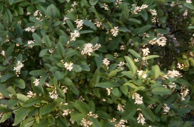 Border Privet flowers and leaves