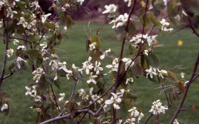Flowers and leaves of Alleghany Serviceberry