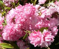 Flowers of Dwarf Flowering Almond