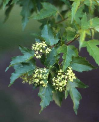 Amur Maple flowers