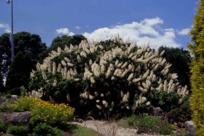 Bottlebrush Buckeye form