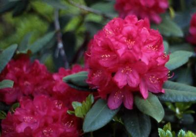 Catawba Rhododendron flowers
