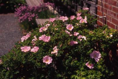 Rugosa Rose flowers