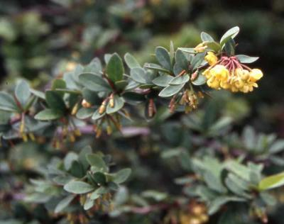 Mentor Barberry flowers