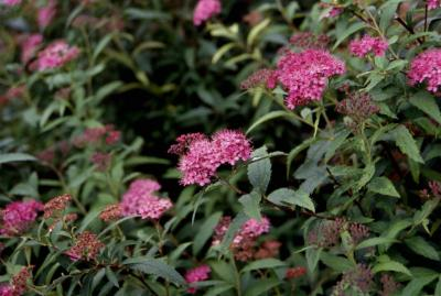 Japanese Spirea, flowers of the cultivar 'Neon Flash'
