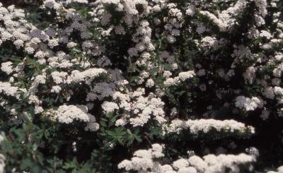 Snowmound Nippon Spirea flowers