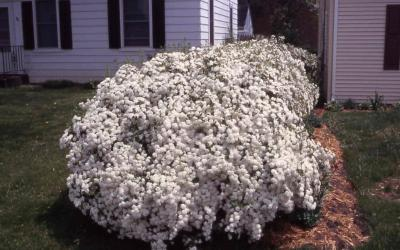 Vanhoutte Spirea hedge