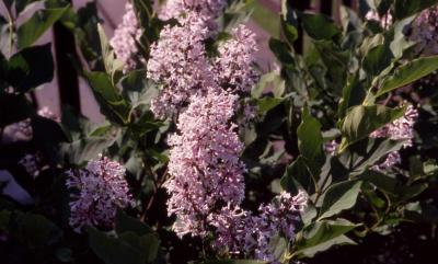 Korean Lilac, flowers of the cultivar 'Miss Kim'
