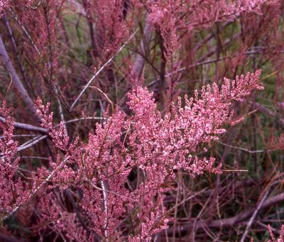 Five Stamen Tamarisk flowers