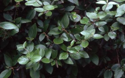 Burkwood viburnum leaves
