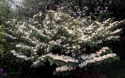 Doublefile Viburnum in flower