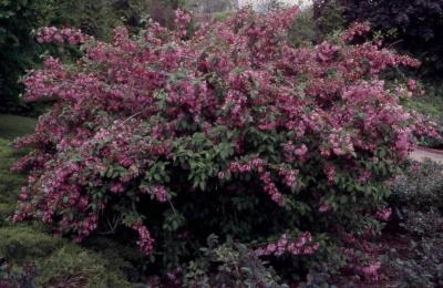 Old Fashioned Weigela form