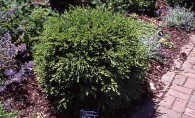 Common Boxwood, hybrid 'Green Gem'