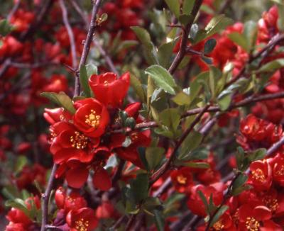 Common Flowering Quince flowers