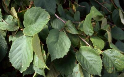 American Filbert leaves