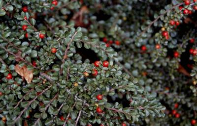 Creeping Cotoneaster fruit