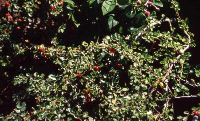 Cranberry Cotoneaster leaves and fruit