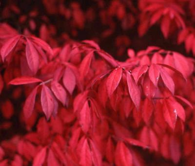 Winged Euonymus fall color