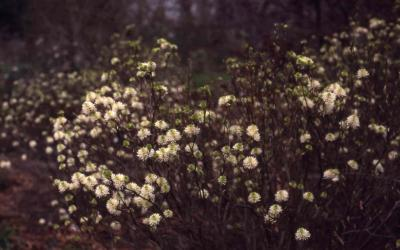 Large Fothergilla flowers
