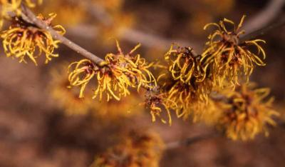 Hybrid Witchhazel flowers