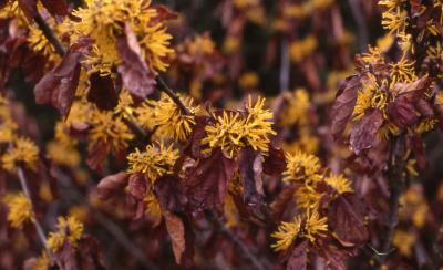 Chinese Witchhazel flowers