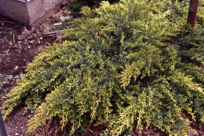 Chinese Juniper, form of the cultivar 'Daub's Frosted'