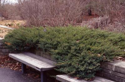Chinese Juniper form