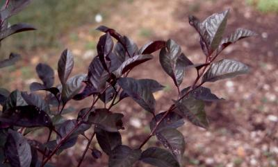 Purple-leaf Sand Cherry leaves