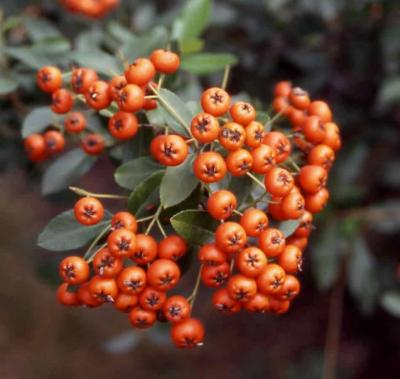 Scarlet Firethorn fruit