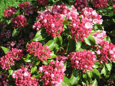 Flowers of Mountain Laurel