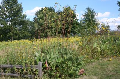 Prairie Dock (note very long flower stalks)