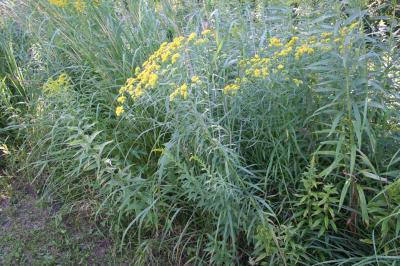 Lance-leaved Goldenrod