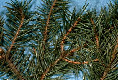 Spruce bud scale