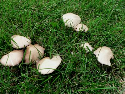 Mushrooms growing in turfgrass.